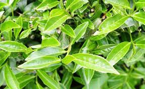 台灣四季春の茶葉